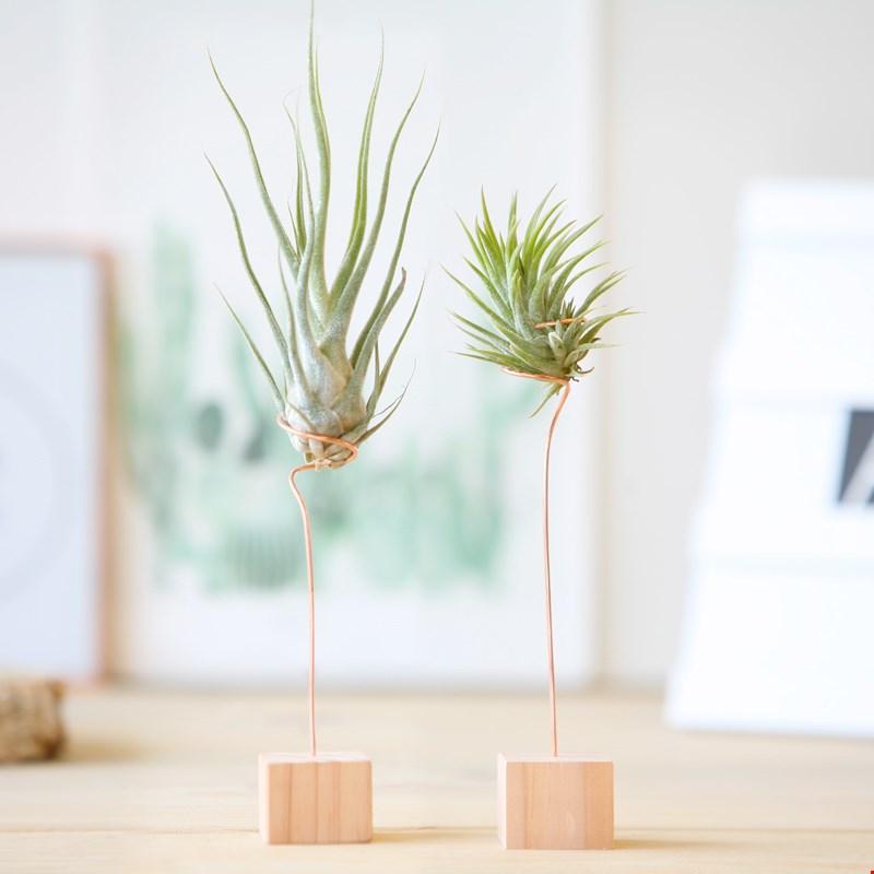 Bloompost luchtplantjes bestellen online Flavourites