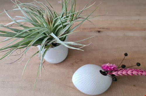 Twee trends gecombineerd: luchtplantjes en droogbloemen!