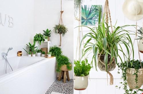 Hangplanten in de badkamer, rechts Graslelie