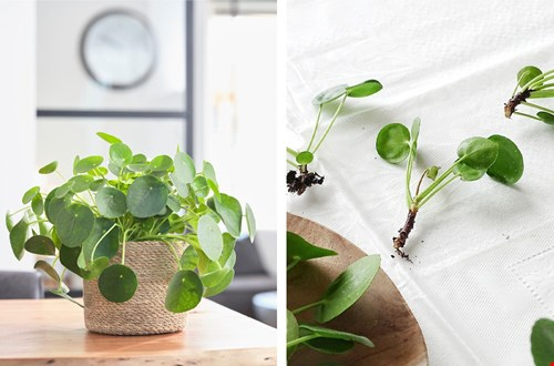 Pannenkoek plant
