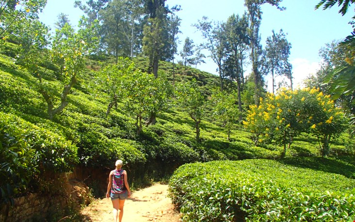 Natuurlijk kan een wandeling door de theevelden van Sri Lanka, het land van de thee, niet ontbreken