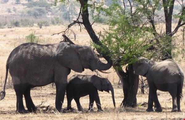 Olifanten in de Serengeti eten de bladeren van een boom