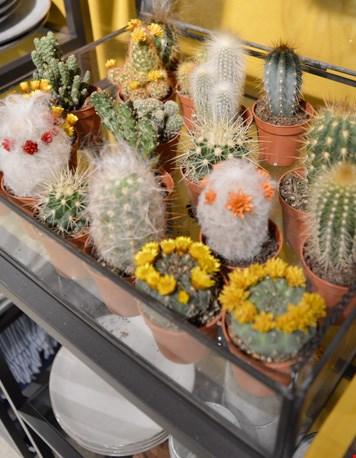 En overal cactusjes!