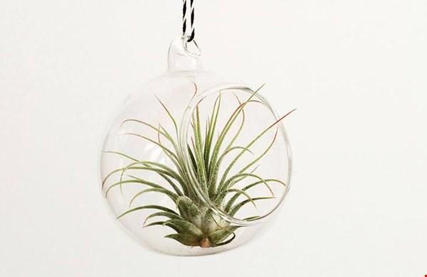 een luchtplantje in glazen bol